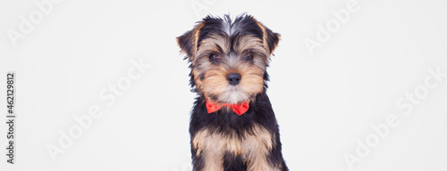 Foto sweet yorkshire terrier dog wearing a red bowtie