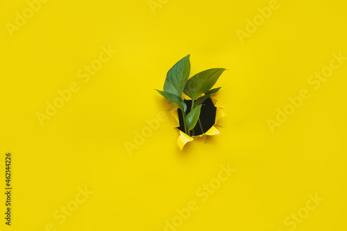 Foto Green leaves of creeper Scindapsus in a torn hole of yellow paper