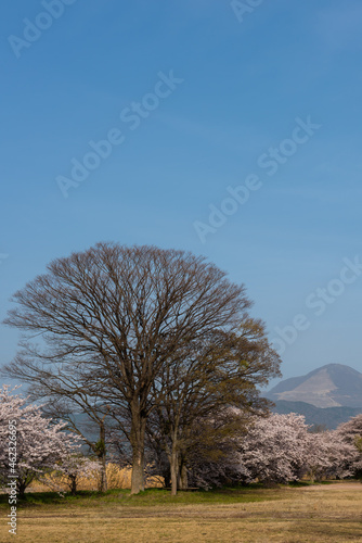 Fotografie, Obraz Tall leafless tree between sakura pink flowers in a park, Ibuki mountain in the background