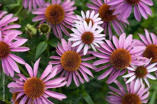 pink flower beauty nature flora rezone kwiaty ogre ogródek garden plot kwiat pink różowy rezone kwiaty 花 aster