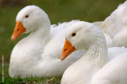Fotografie, Obraz Two white domestic geese resting on the grass
