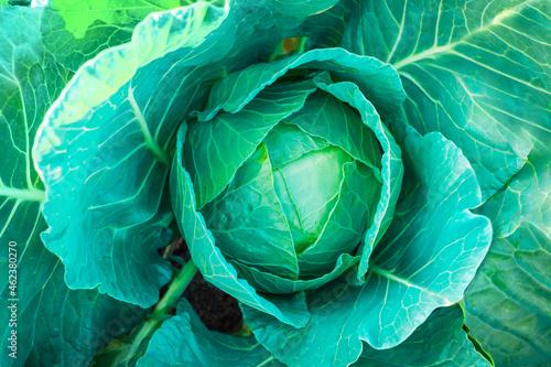 Foto Fresh green cabbage in the garden