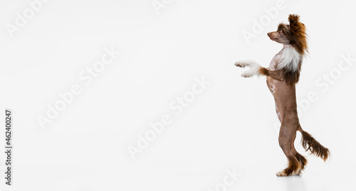Fotografie, Tablou One beautiful pedigree dog, Chinese Crested Dog stands on its hind legs isolated over white studio background