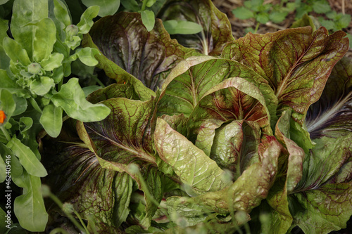 Home Grown Organic Radicchio or Red Chicory 'Firestorm' (Cichorium intybus) Fototapet
