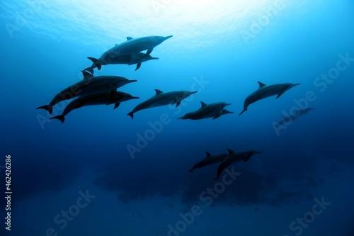 Photo Wild common bottlenose dolphin (Rangiroa, Tuamotu Islands, French Polynesia in 2