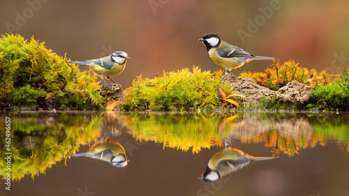 Fotografia, Obraz Great tit, parus major, and eurasian blue tit, cyanistes caeruleus, standing on pond in fall
