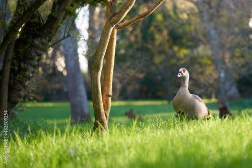 Murais de parede Selective focus shot of a goose in a park