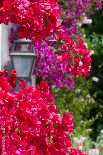 Leinwand Poster Red bougainvillea in bloom, lantern, purple bougainvillea against a wall on the French Riviera