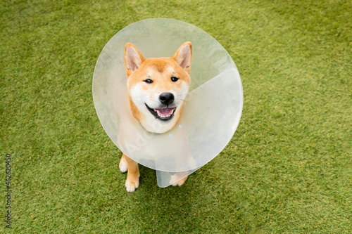 Photographie Smile breed Japanese Shiba inu cute dog wearing protective with cone collar on neck after surgery