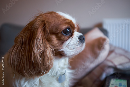 Fototapeta Blenheim Cavalier King Charles Spaniel lap dog