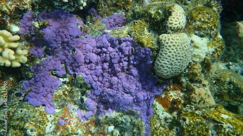 Obraz na plátně Pore coral (Montipora mollis) undersea, Red Sea, Egypt, Sinai, Ras Mohammad nati