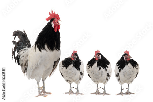 Fotografiet singing rooster and three hens isolated on white background