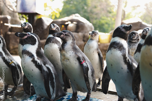 African adorable penguin or Spheniscus demersus also known as the jackass penguin and black-footed penguin Fototapet