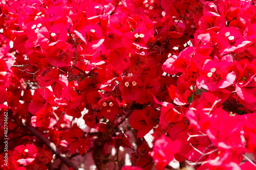 Background of red bougainvillea in bloom, red bracts. Fototapete