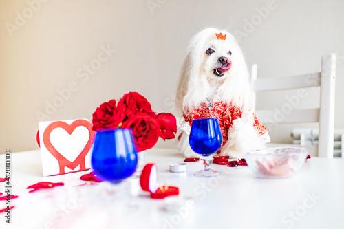 Fotografering maltese bichon frise dogs are Valentine's Day celebration dating in the kirchen