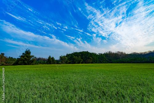 Fototapeta Paddy field under blue sky