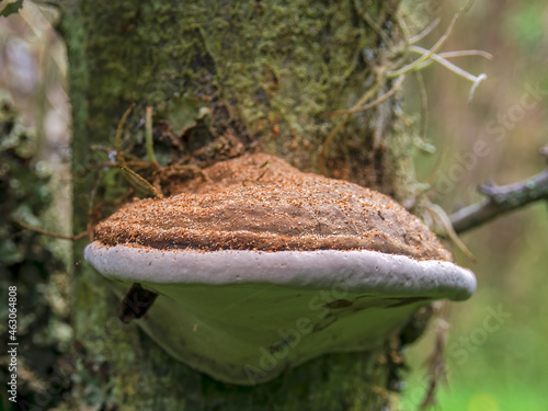 Canvas Print Macro photography of an artist's bracket fungus with some wood dust on top, captured in a forest near the town of Villa de Leyva, in central Colombia