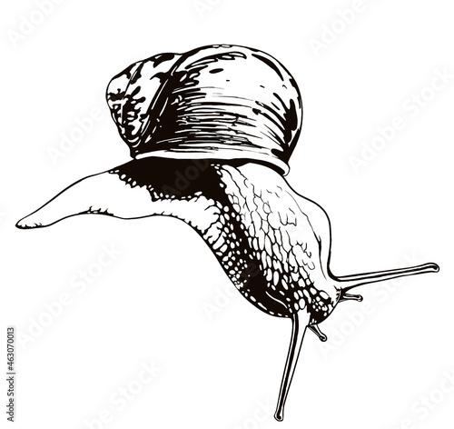 Stylized snail - black digital ink on white background - digital illustration Snail Fototapet