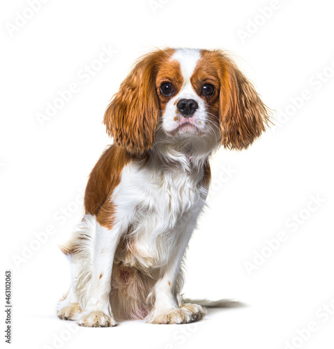Obraz na plátně Cavalier King Charles Spaniel dog sitting in front, isolated