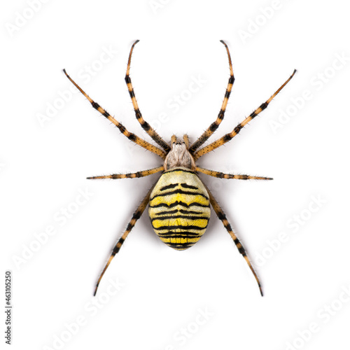 Wallpaper Mural Wasp spider viewed from up high, Argiope bruennichi, isolated on