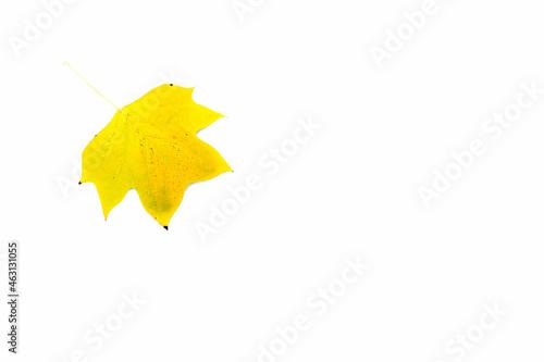 Żółte jesienne liście klonu Princeton Gold na białym tle.