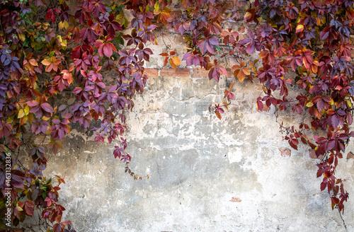 Fotografia Virginia creeper autumn wall
