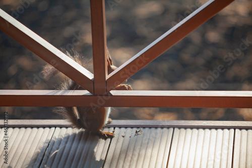 Tablou Canvas Red squirrel hides behind veranda fence on its hind legs