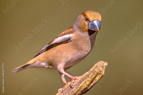 Fotografiet Hawfinch male bird foraging on blurred background