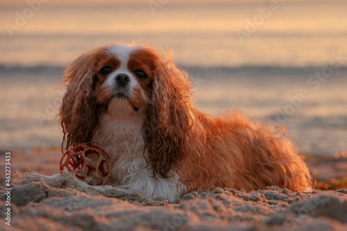 Obraz na plátně beautiful brown and white cavalier king charles spaniel is lying with his ball i
