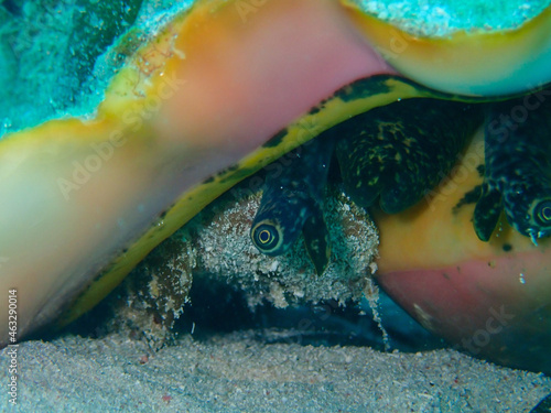 Closeup of a queen conch on the seabed under the sea Fototapeta