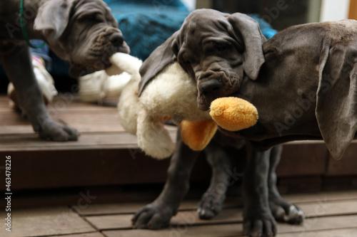 szczeniak pies dog niemiecki stado miot #463478226