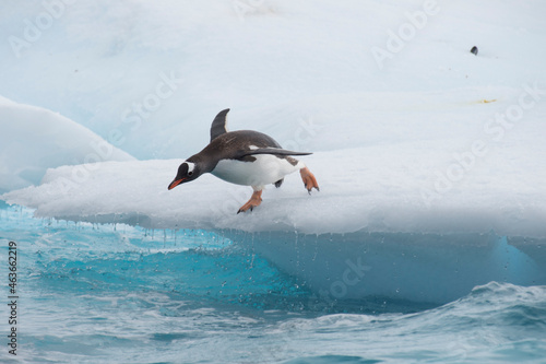 Fototapeta Gentoo Penguins jumping to the water from ice
