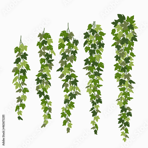 Fotografia Ivy vines, green leaves of a creeper plant isolated on white background