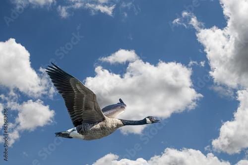 Slika na platnu Anatra in volo, libera, migra nella natura e ambiente incontaminato