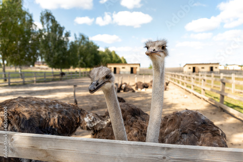Slika na platnu Many big african ostrich birds walking in paddock with wooden fence on poultry farm yard against blue sky on sunny day