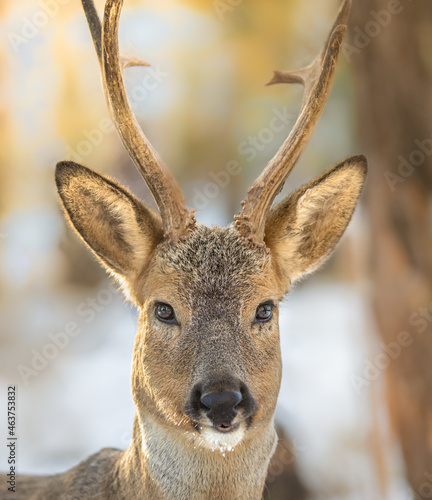 Photo The best portrait of a forest roe deer