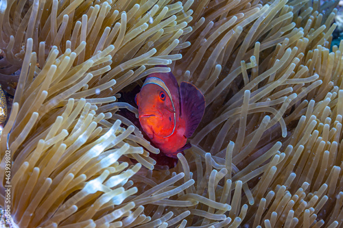 Fotografia Coral reef off island of Sulawesi, clownfish