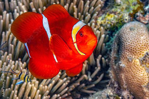 Murais de parede Coral reef off island of Sulawesi, clownfish