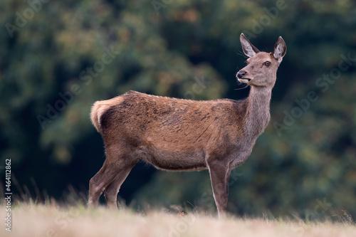 Fotografie, Tablou Red Deer Hind (Cervus elaphus) in a field at the edge of a forest