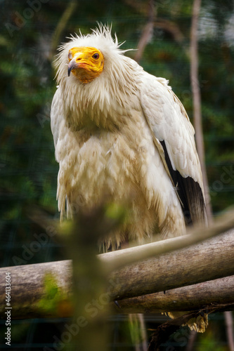 Photo Neophron percnopterus - A scavenger vulture living in an outdoor aviary