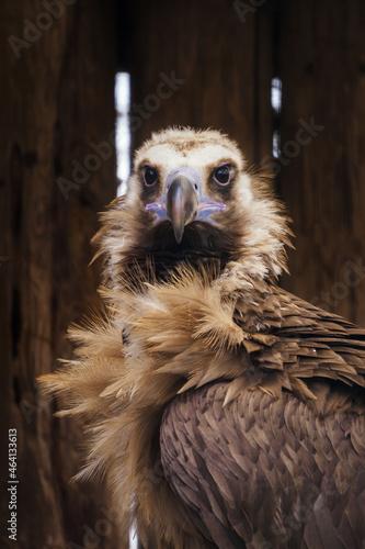 Canvas Print Aegypius monachus - brown vulture living in captivity.