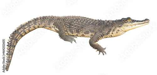 The Nile crocodile (Crocodylus niloticus) is a large, dangerous carnivorous reptile Fotobehang