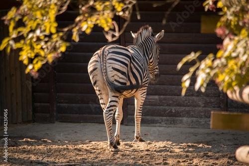 Zebra obrócona tyłem #464230456