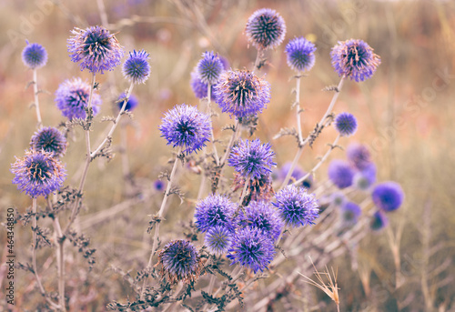 Obraz na plátně Flowers of blue thistle thistle on the background of burnt grass in the steppe
