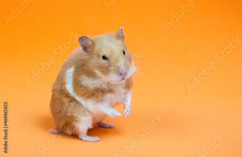 Fotografie, Tablou Curious Syrian hamster leaning on hind legs on an orange background