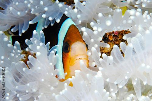 Foto Clown fish among white anemones