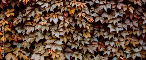 Fotografia Decorative background of wild brown grapes leaves
