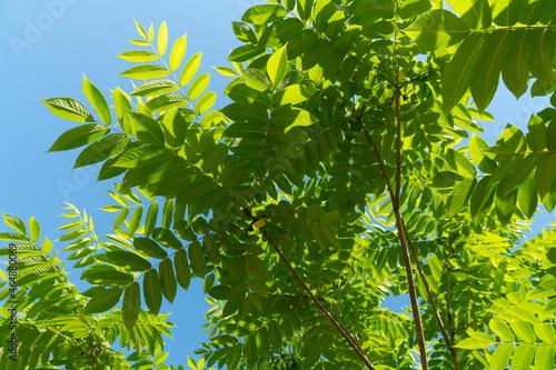 Foliage of Manchurian Walnut or Dumbei Walnut (Latin Júglans mandshúrica) against a blue sky on a sunny summer day Fototapeta