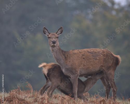 Fotografie, Tablou Red deer hind feeding her calf..